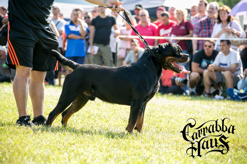 Champion Rottweilers
