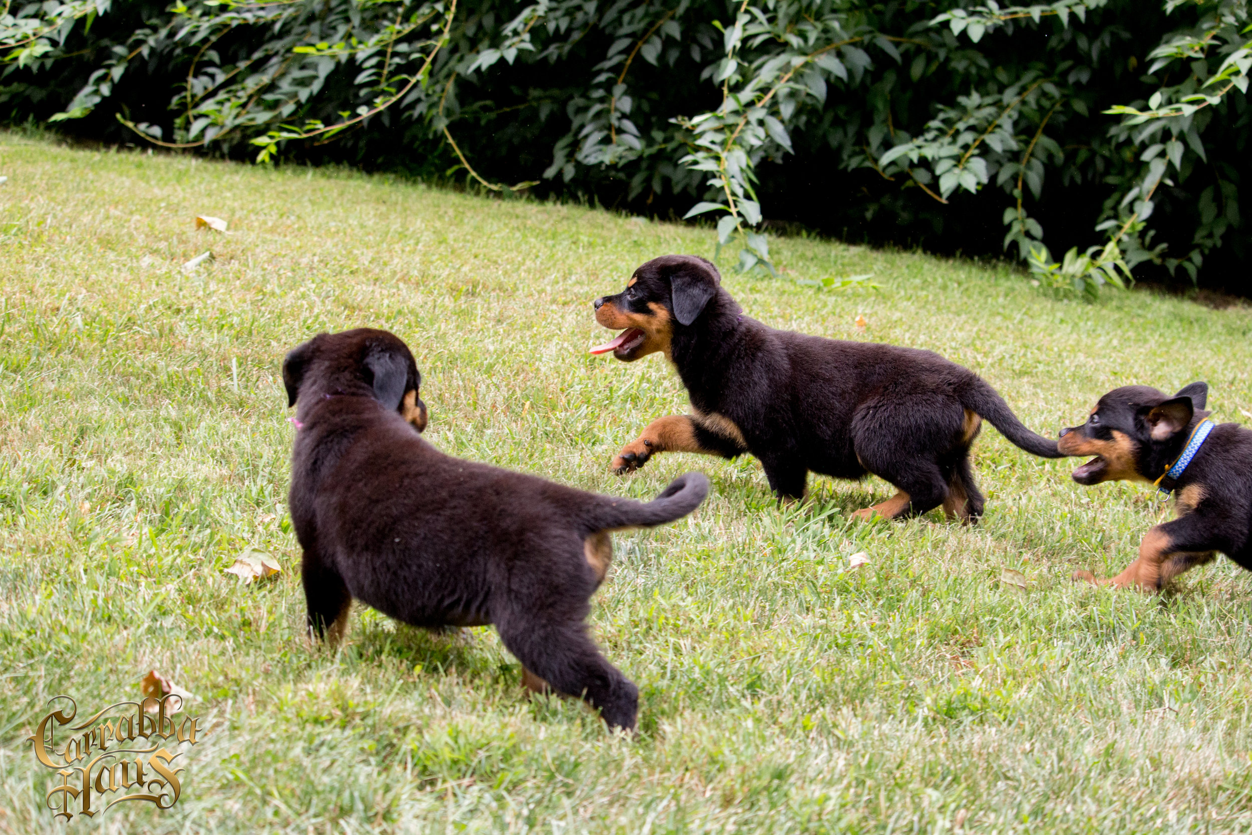 rottweiler dogs New Jersey