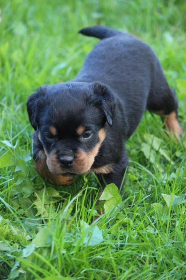 Carrabba Haus Rottweiler Puppies for Sale