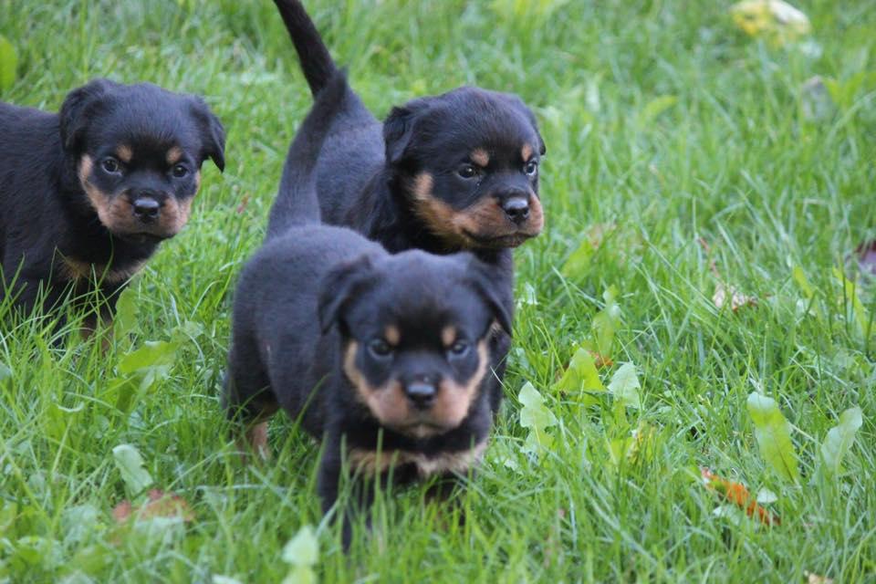 Carrabba Haus German Rottweiler Puppies for Sale
