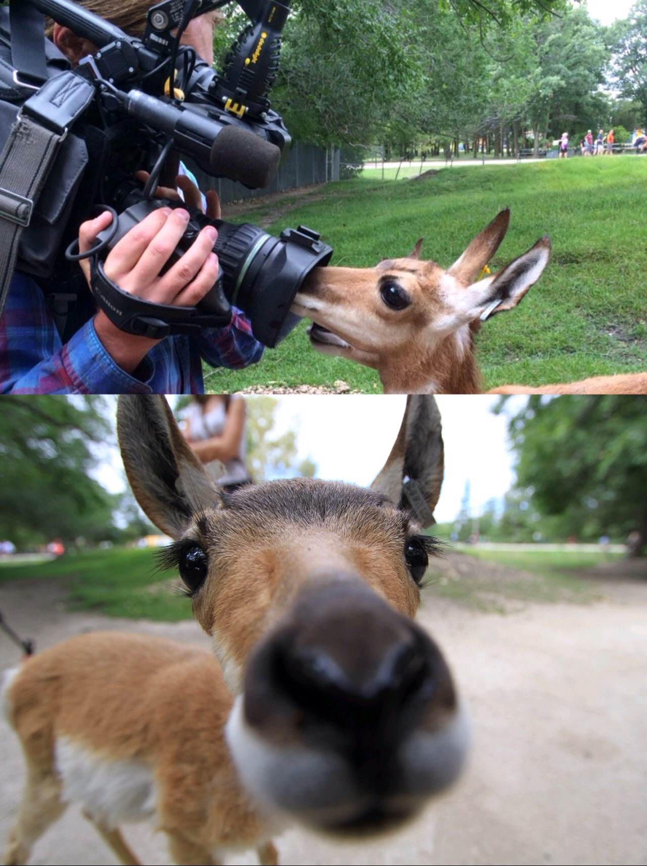 Baby pronghorn antelope loved to be on camera.