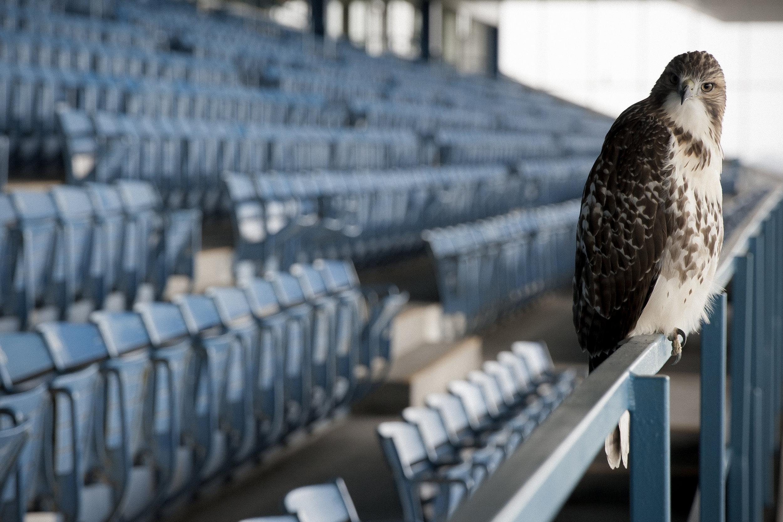 Hawk Untouched