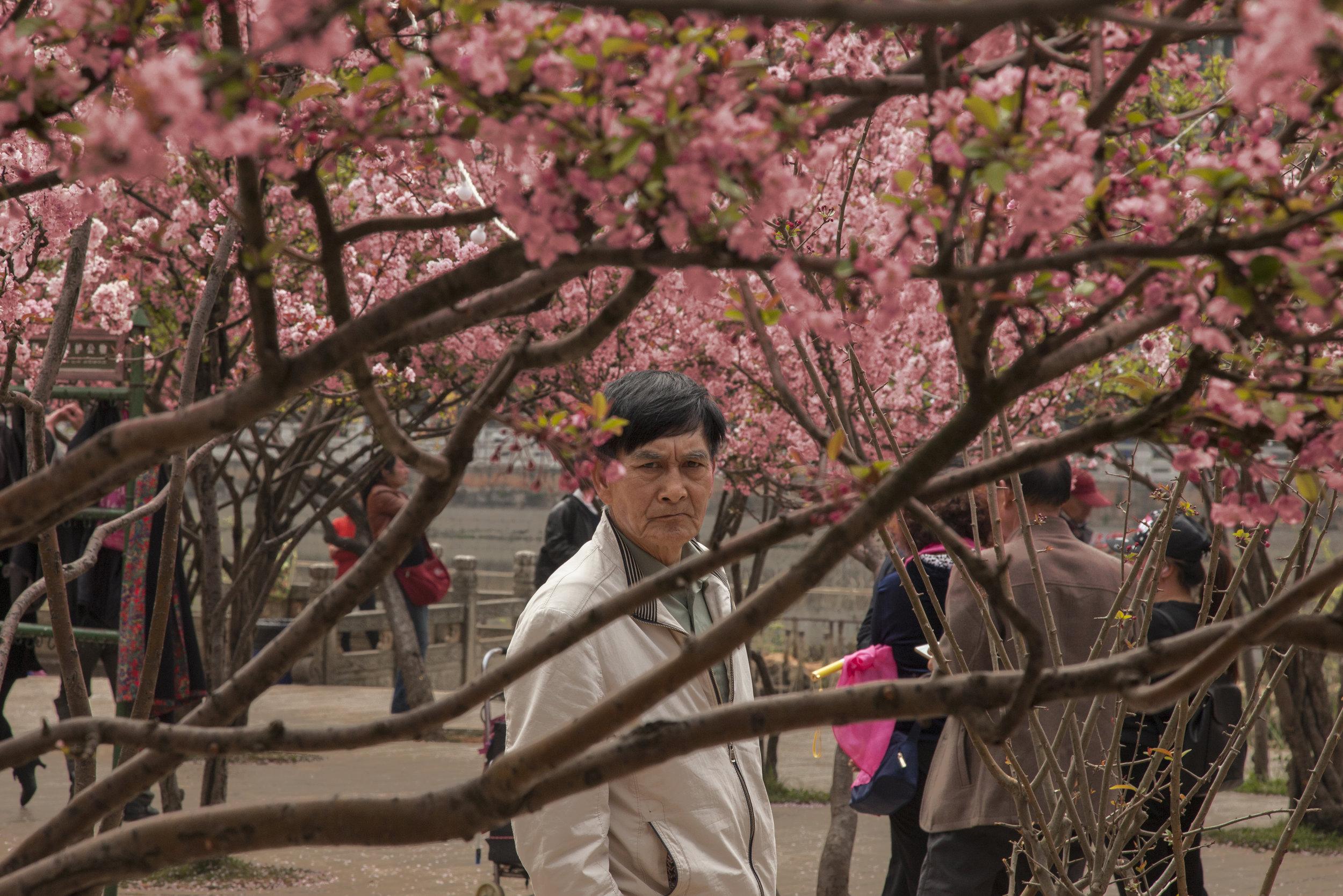 Sakura in Kunming