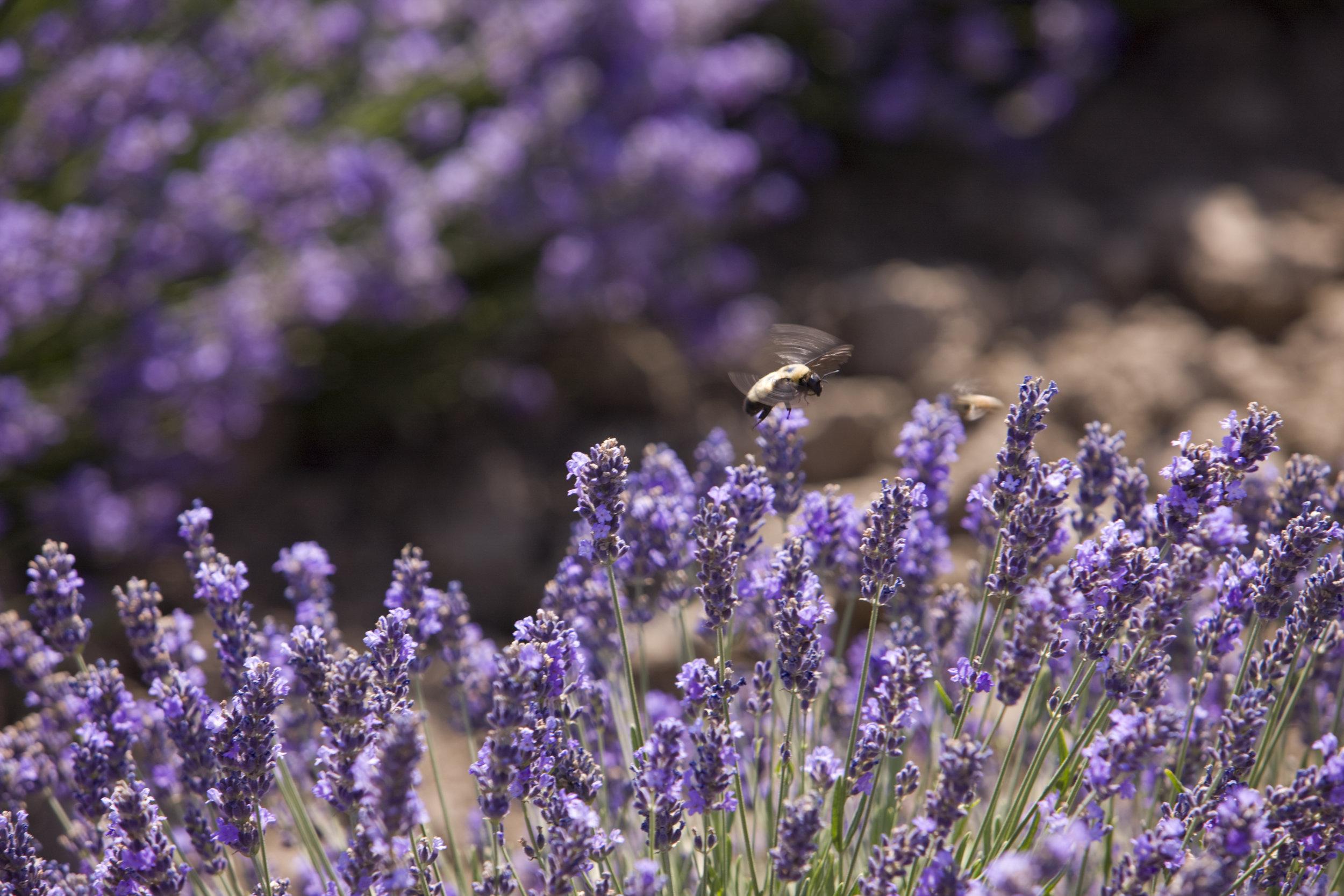 lavender-flower-essential-oils