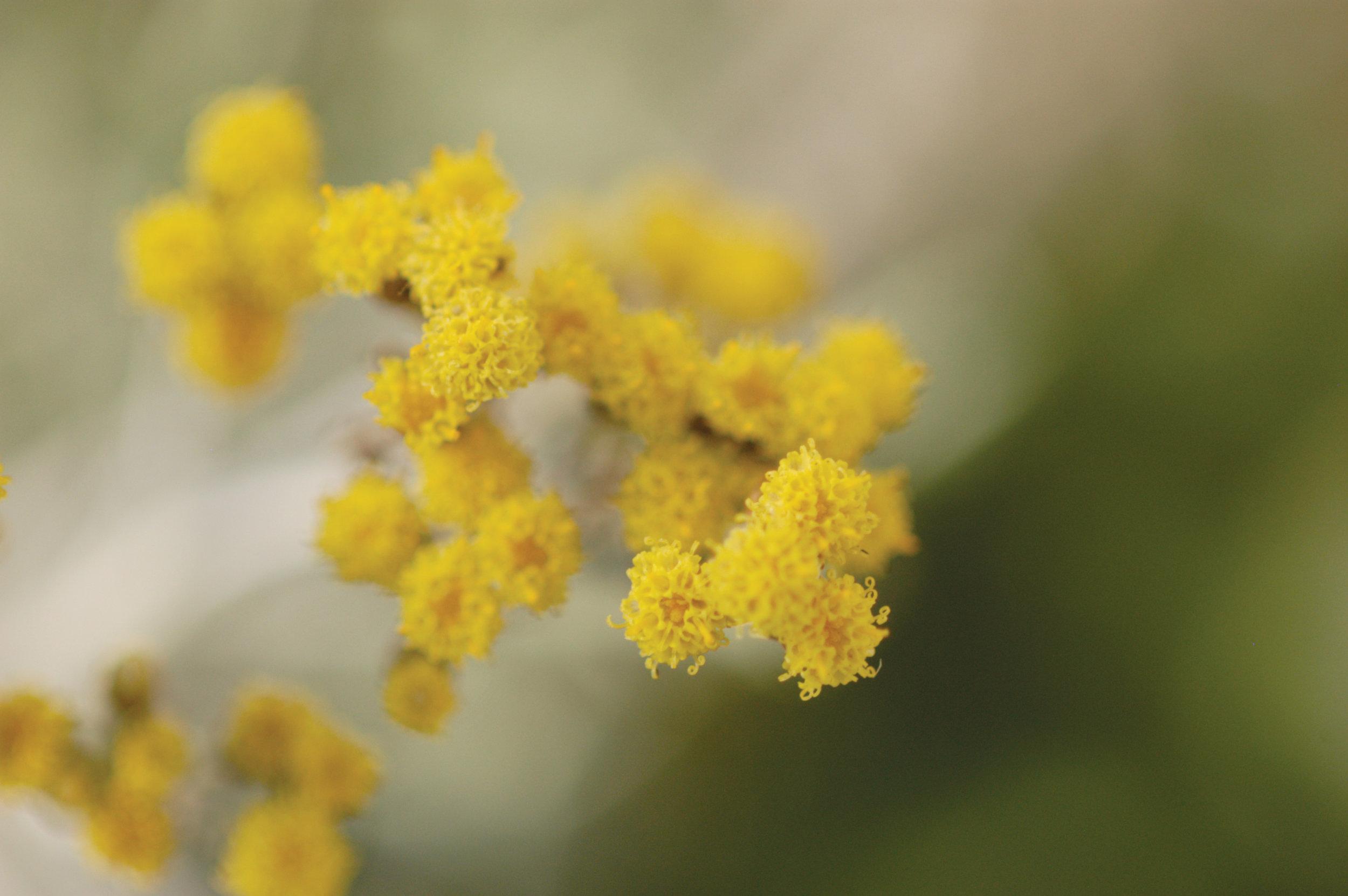 helicrisum-flower-essential-oil