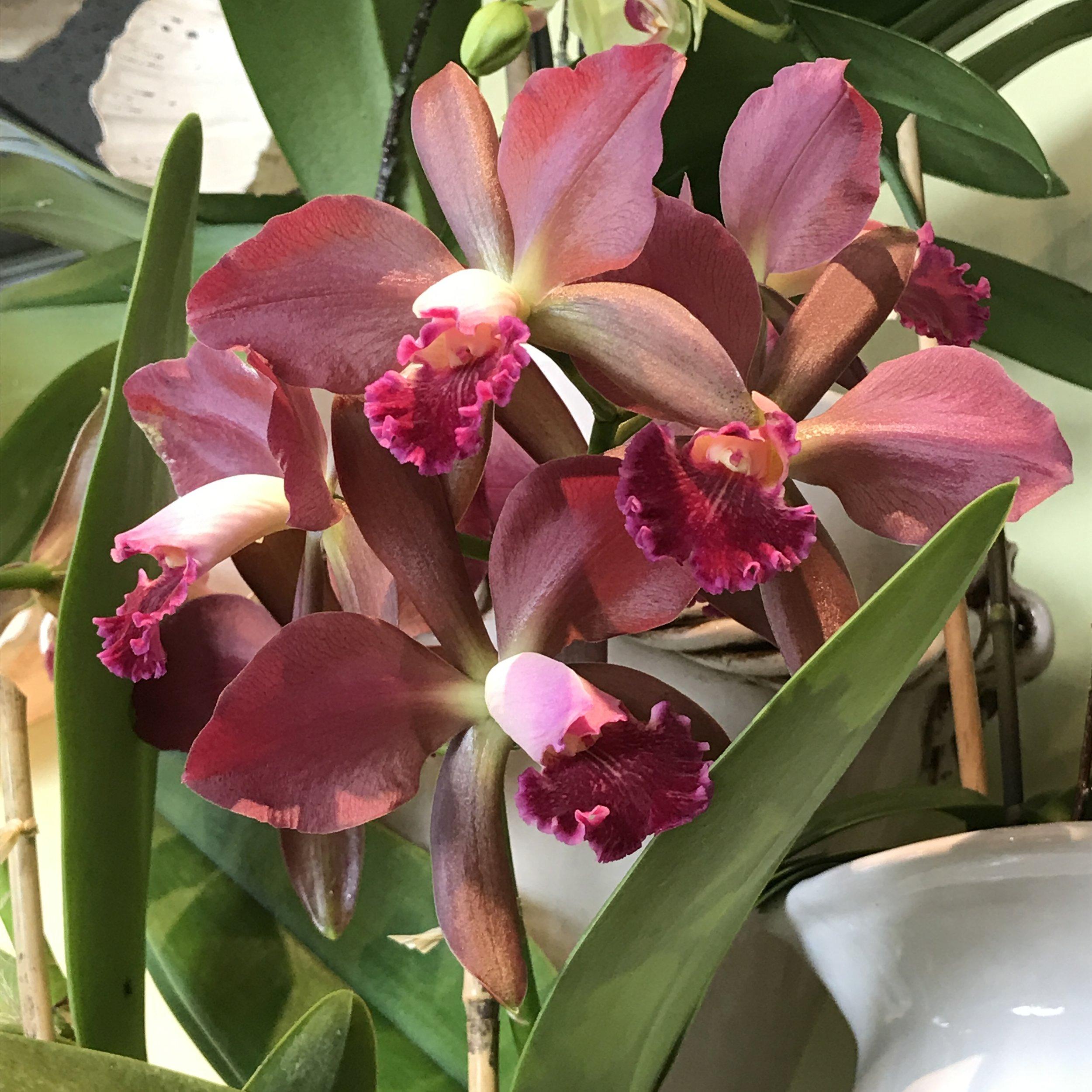 website-orchids-catt1.JPG