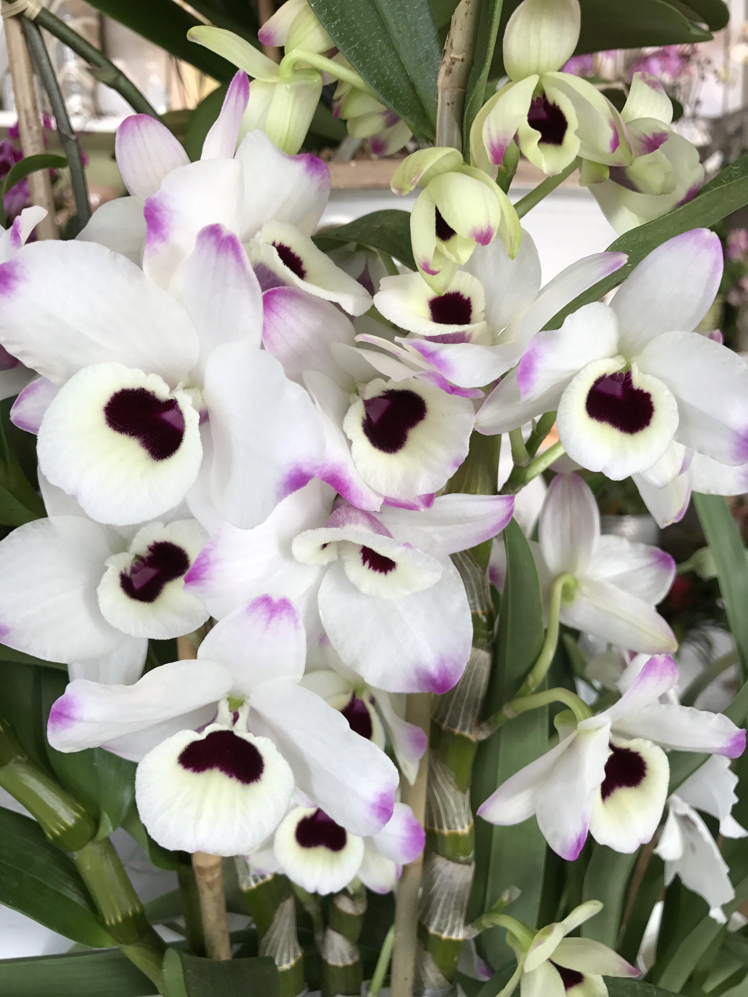 website-orchids-nubile.JPG