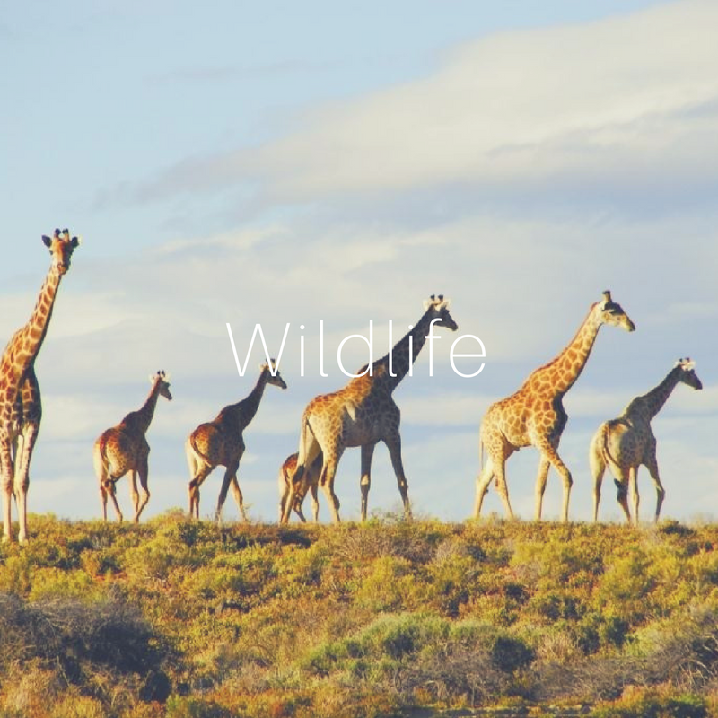 - Cape Town is home to a wide variety of wildlife. There are various sanctuaries and game farms hosting a number of animal species from different birds and butterflies all the way to the big five of Africa. If you like observing animals in the natural habitat, then you can book a day tour to one of the neighbouring game parks in the area- being only two hours' drive away from Cape Town. You could sip champagne and watch the magnificent African sun set while spotting Lions, Leopards, Elephants, Rhinos and Buffalos in the safety of your game drive vehicle.