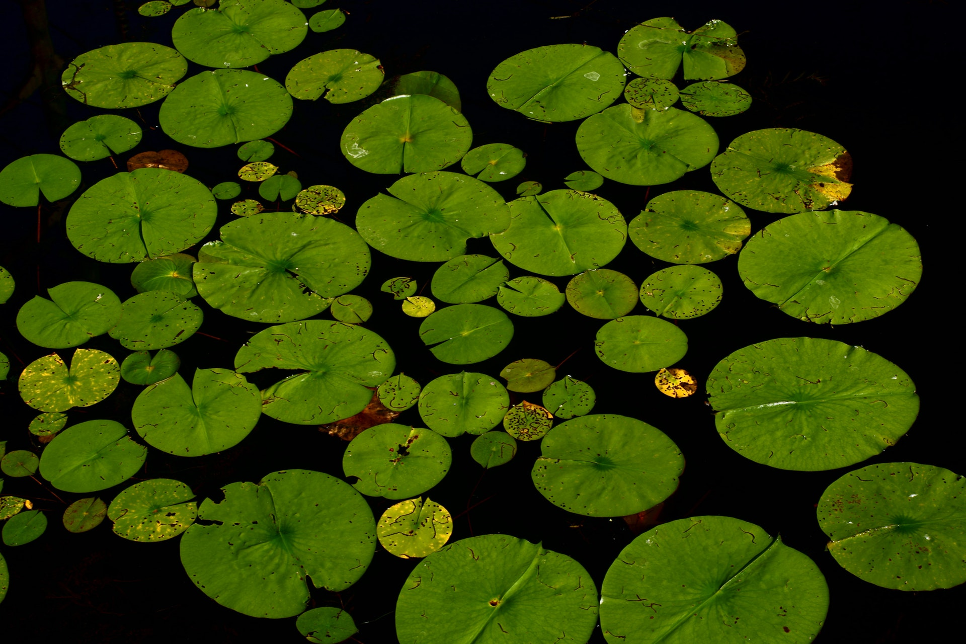 lily pad.jpg