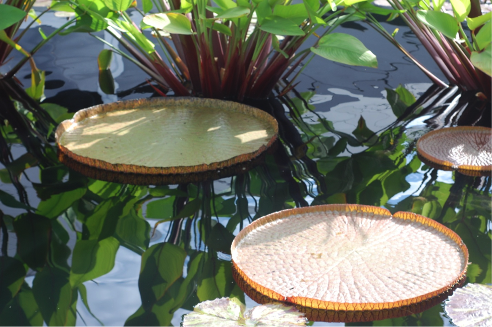 Lily Pad in Pond