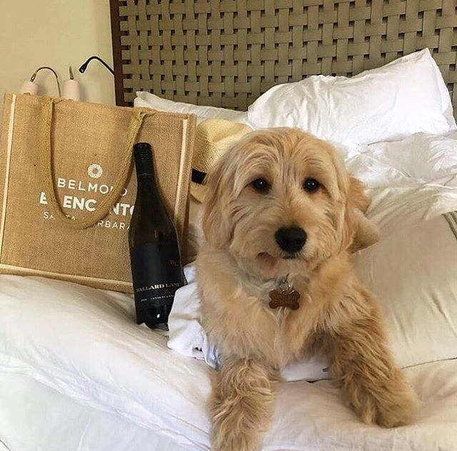 Did you know that The Belmond El Encanto welcomes your adorable pupper to stay at their resort with you 😍? Book your next getaway, just you and your 🐾💕 Let us know in the comments any special memories at The Belmond! 📷: @lauraball.sf . . #TheArtofBelmond #petfriendly #dogfriendly #pupper #petresort #luxuryhotel #fivestarhotel #getaway #visitsantabarbara #mysantabarbara