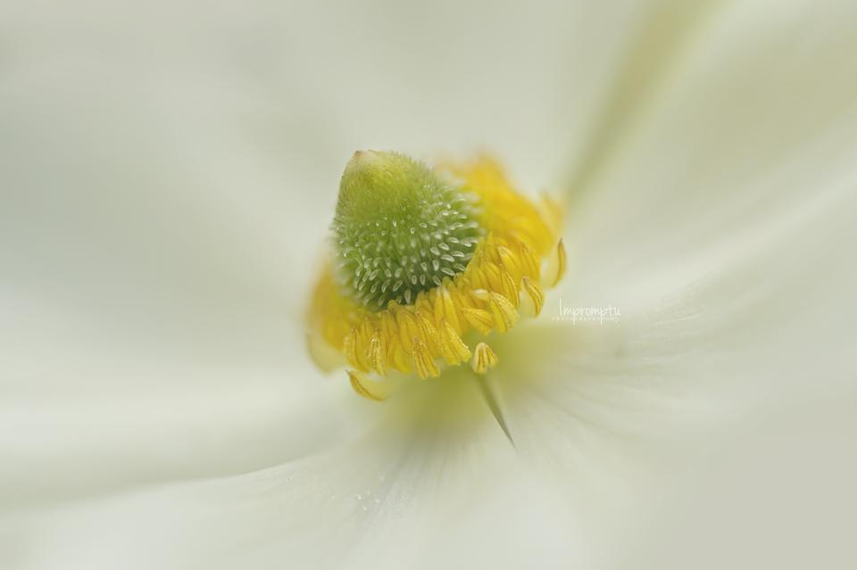 Ranunculus in the garden