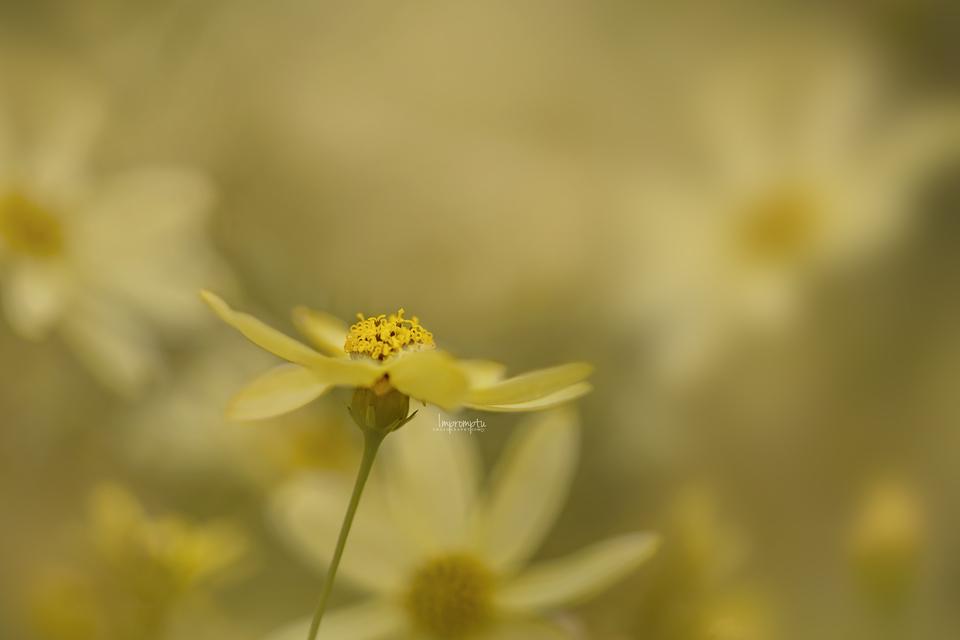 _559-07 03 Soft and beautiful Coreopsis.jpg