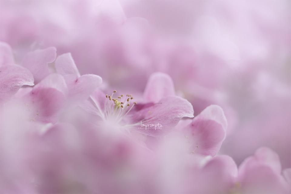 _118 2 12x8 04 29 2017 Cherry Blossom.jpg