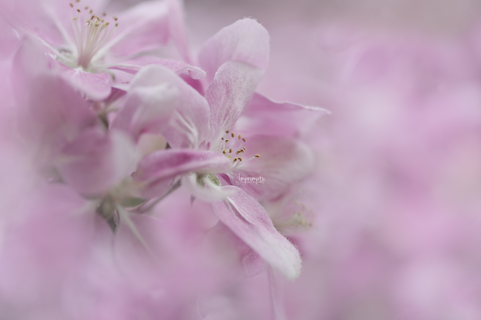 _91 2 04 29 17  Cherry Blooms in the Spring.jpg