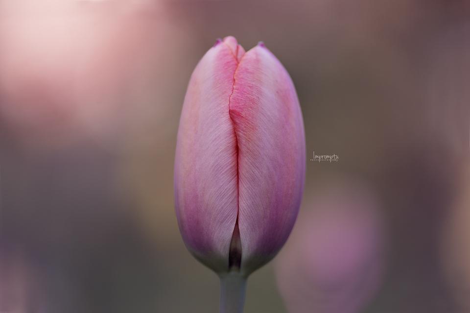 _249 3 04 23 Pink Tulip in the evening light.jpg
