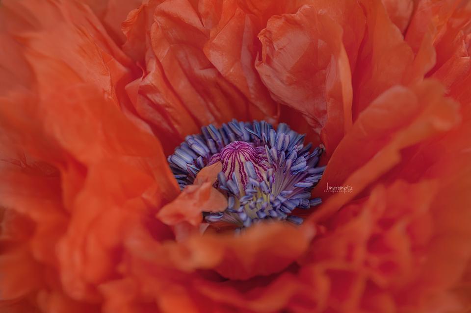_35 Wild Poppy 05 18 .jpg