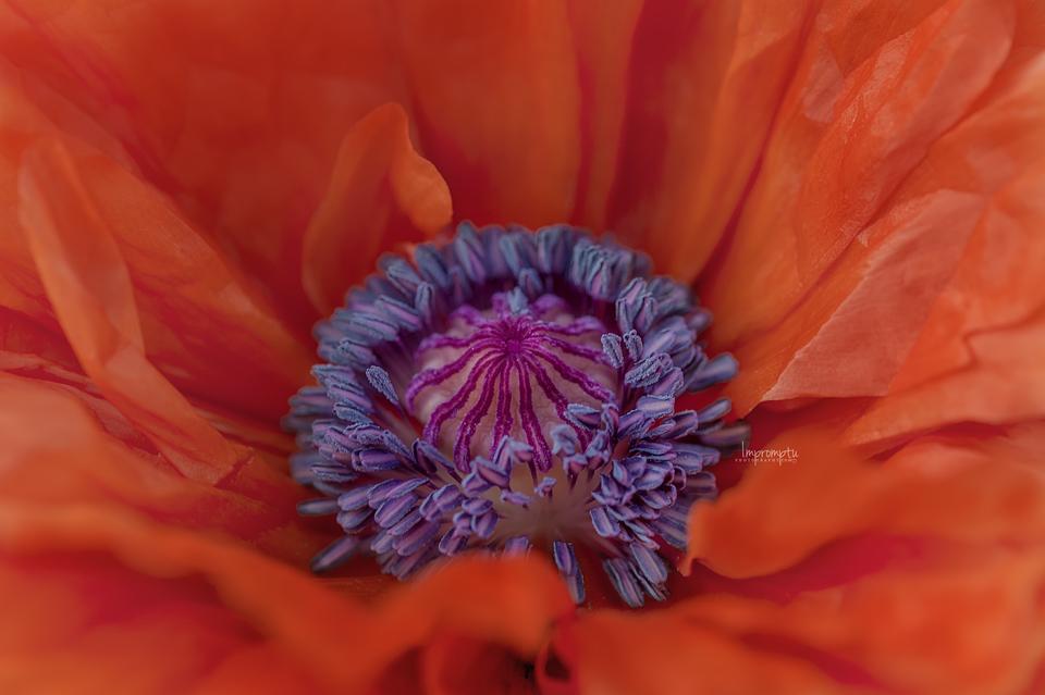_67 Orange Wild Poppy 05 18 .jpg