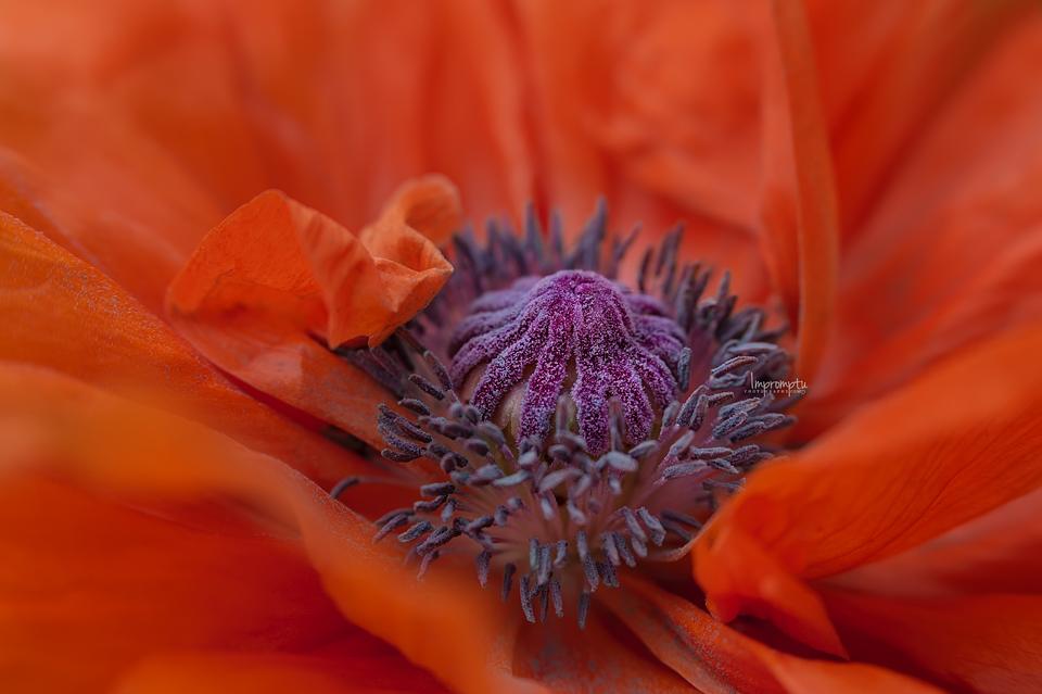_89 05 19 2017 Wild orange poppy upclose macro.jpg