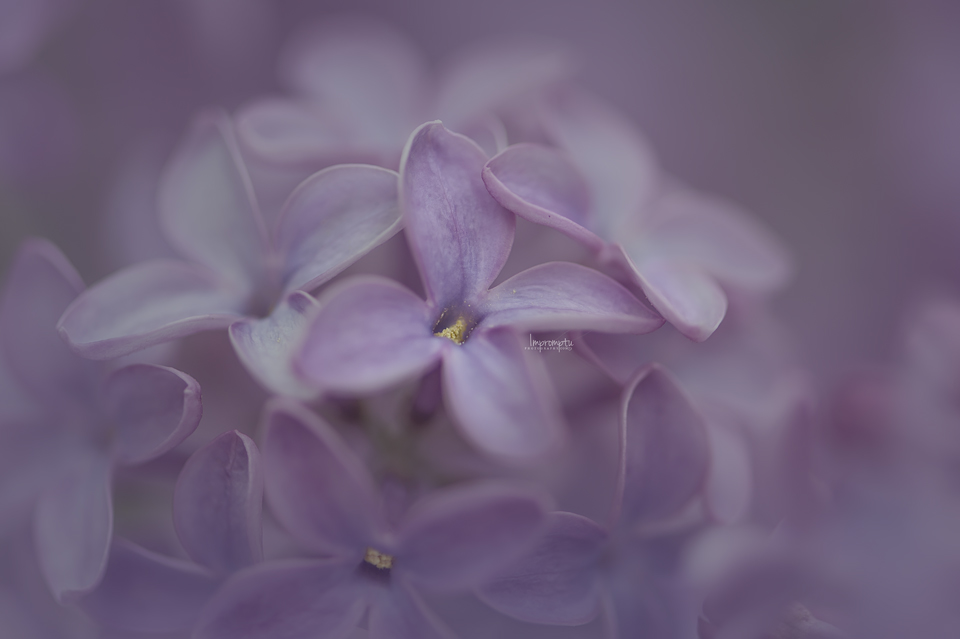 _92 05 07 Stunning Lilac in the Spring.jpg