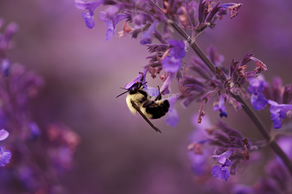 Bubble bee on Catmint _143 2 06 16 2017.jpg