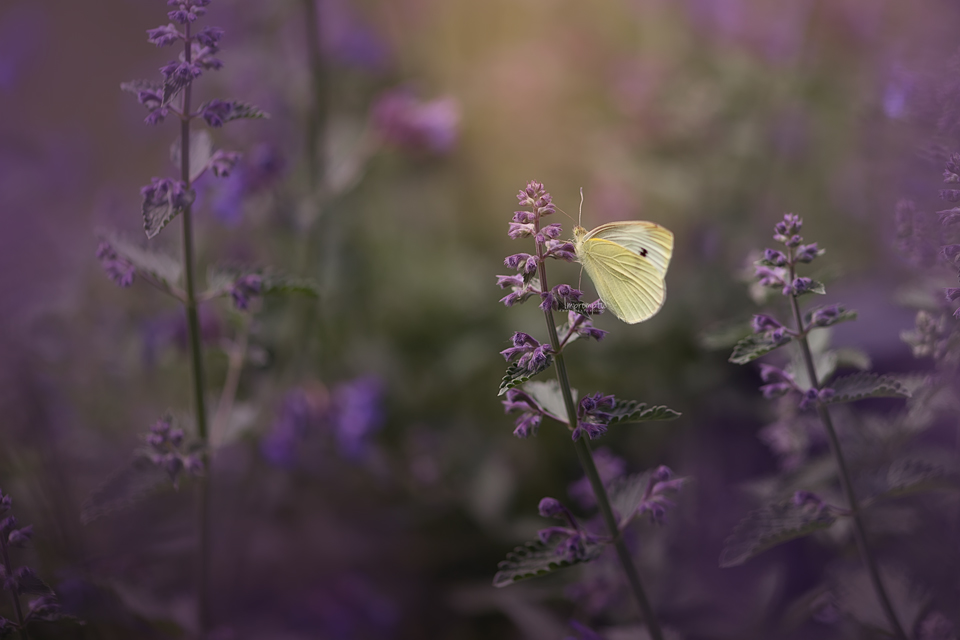 Cabbage Butterfly _61 12x8  06 04 2017 2.jpg