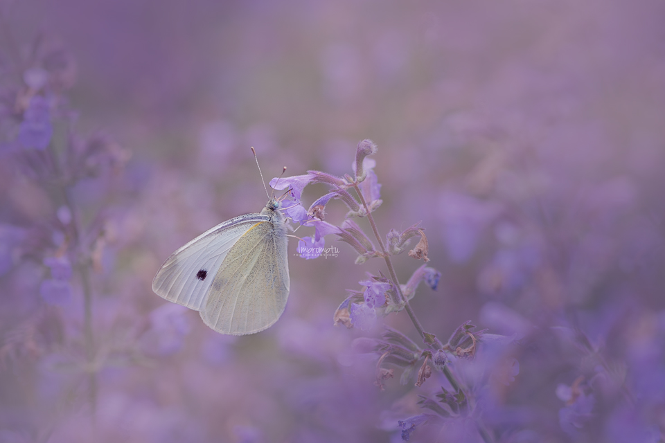Cabbage butterfly _195 2 12x8 06 16 2017.jpg