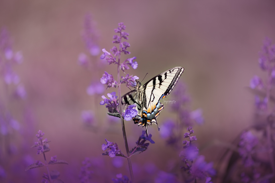 Swallow tail upon catmint _1 06 04 2017.jpg
