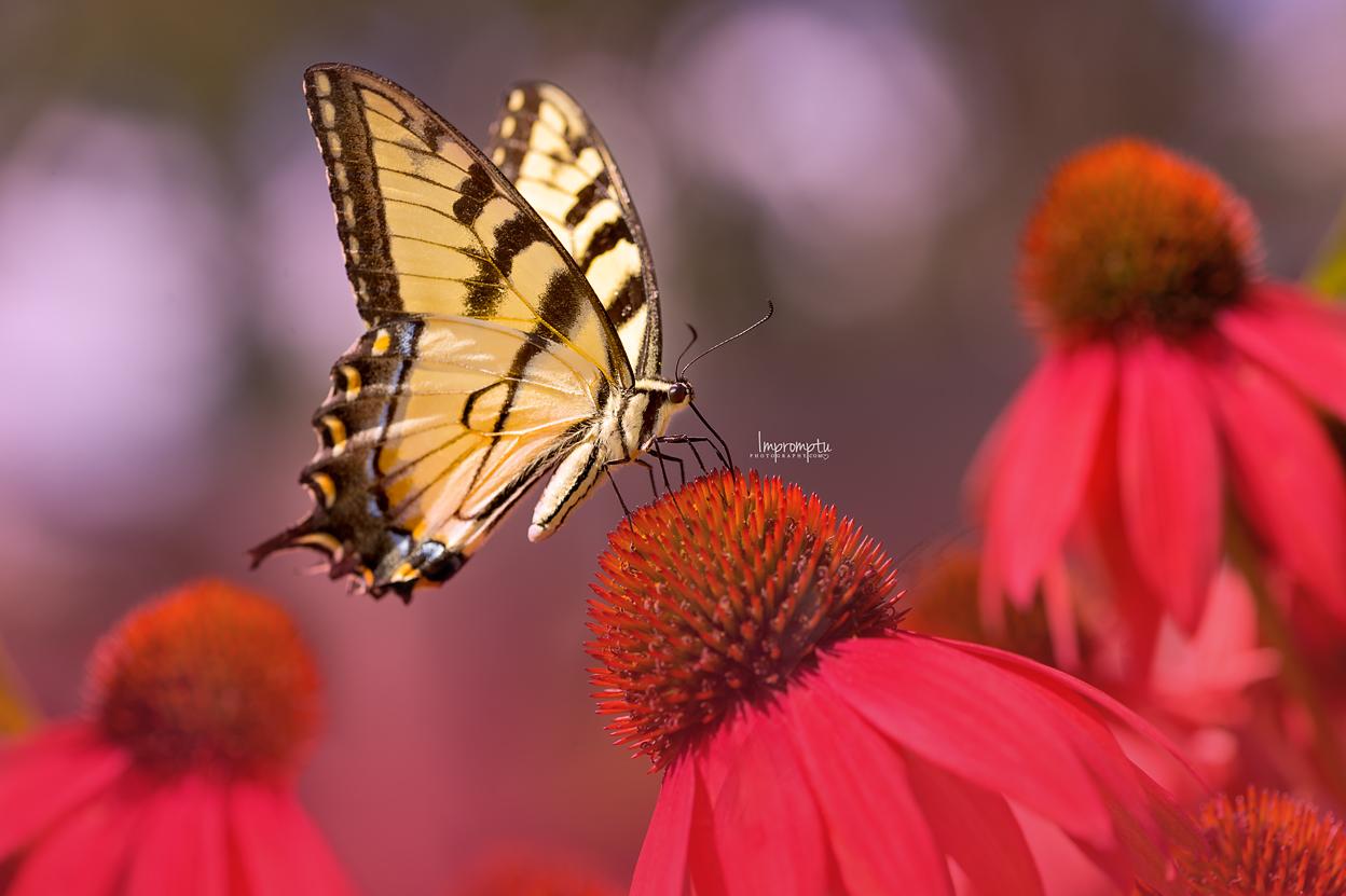 Swallowtail Butterfly red Coneflower _122 E CB 08 04 2017.jpg