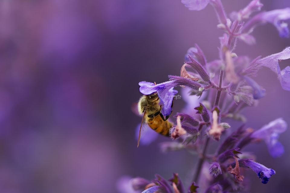 Busy Bee on Catmint _3 2 06 17 2017.jpg