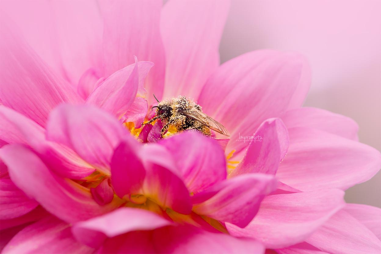 Busy Bee on Dahlia _103 12x8 09 05 2017 2.jpg