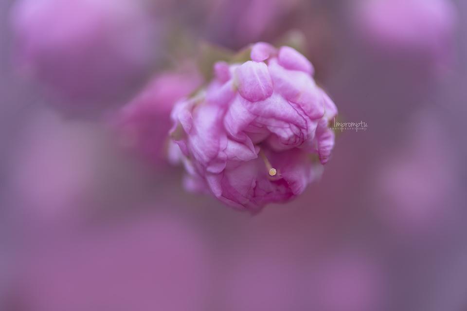 _82 China Rose Bud 04 19.jpg