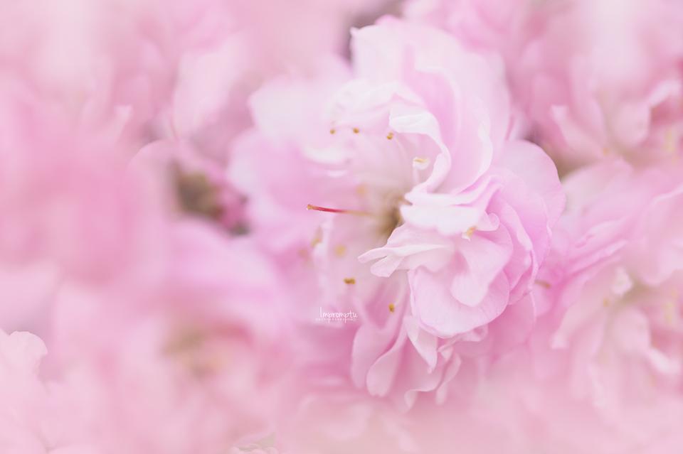 _206 04 23 China Rose bloom.jpg