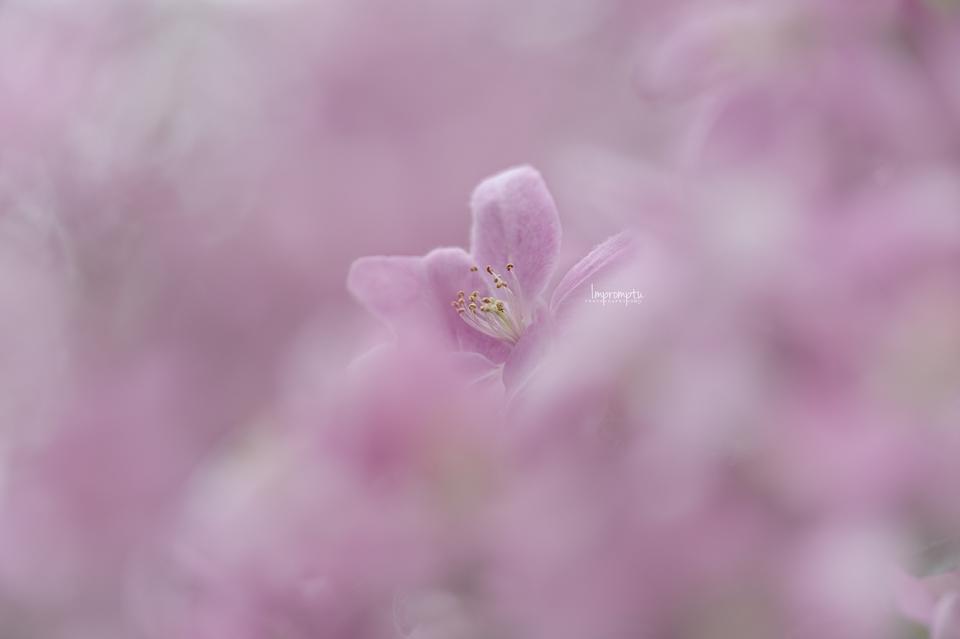 _101 04 29 2017  Cherry Blossom.jpg