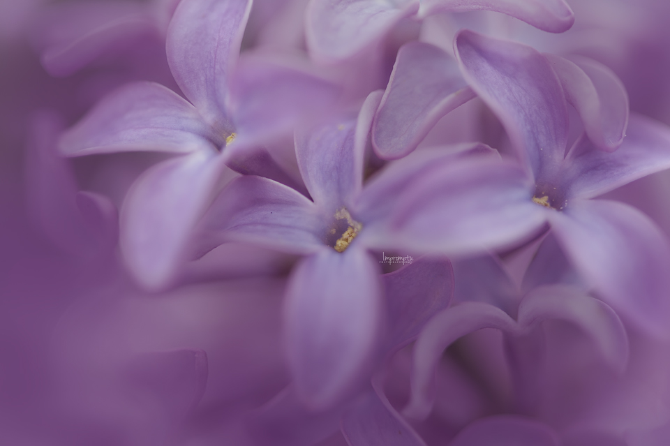 _129 05 07 Floating Lilac blooms.jpg