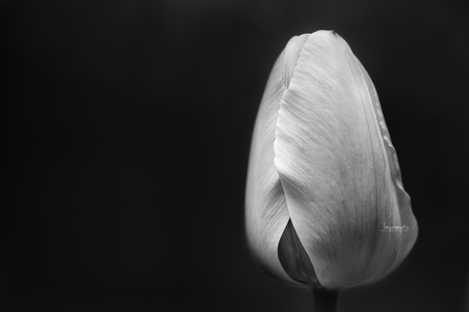 _395 BW 04 29 Black and white tulip.jpg