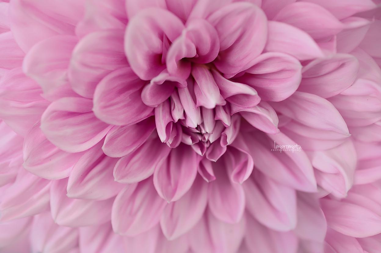 Dahlia pink_344 N 07 31 2017.jpg