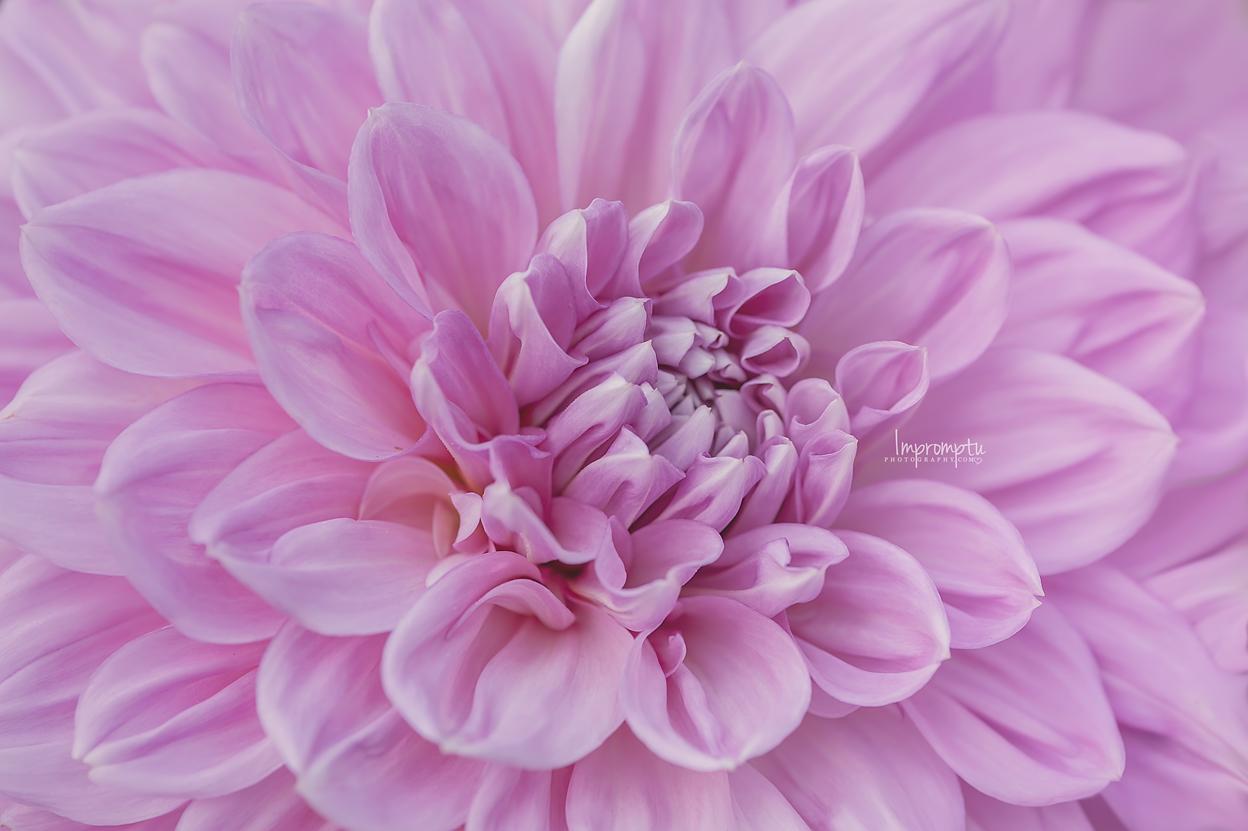 Pink Dahlia _55 N  07 31 2017.jpg