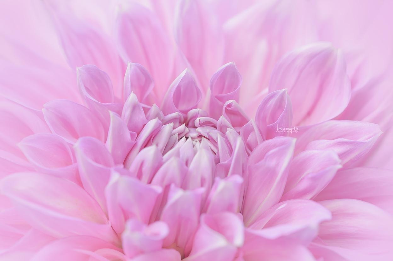 Pink Paradice Dahlia _21 N 07 27 2017.jpg