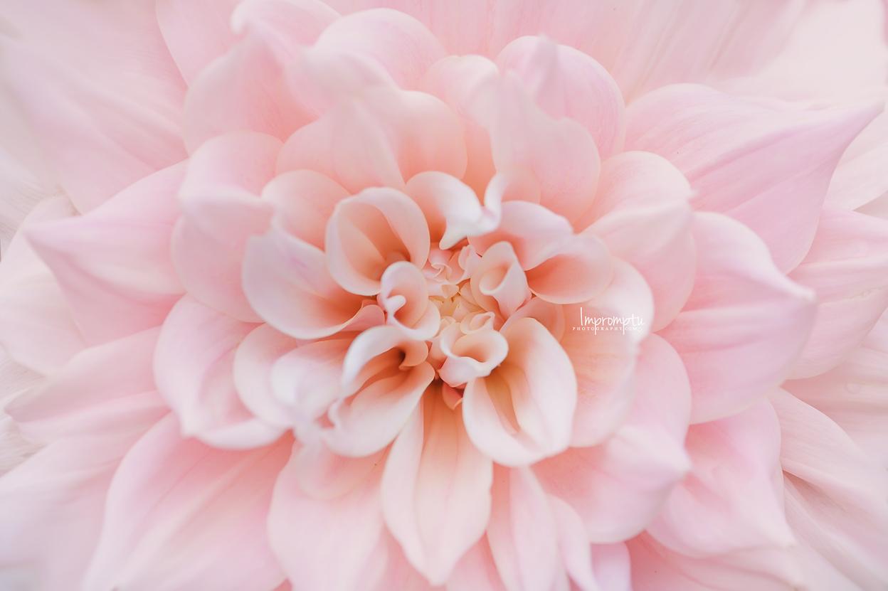 Soft Pink Dahlia _405  08 31 2017.jpg