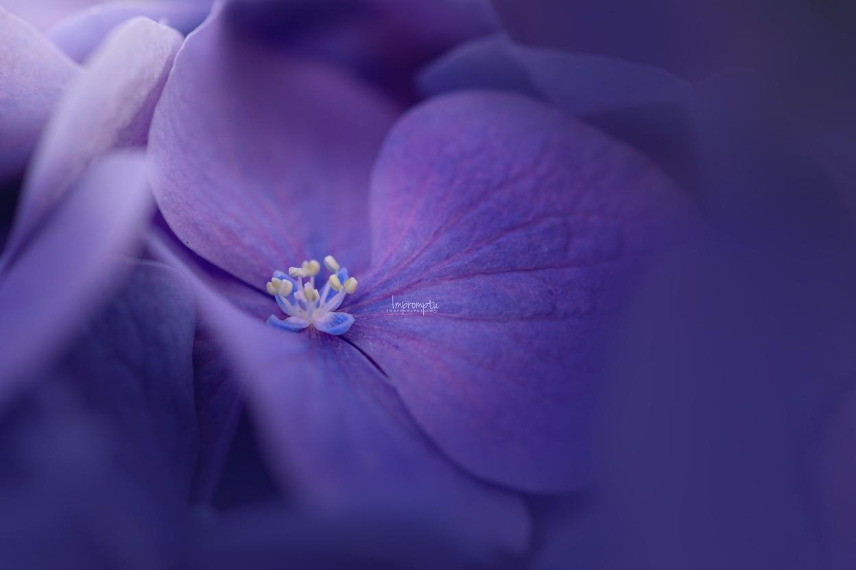Purple Hydrangea  _147 07 31 2017.jpg