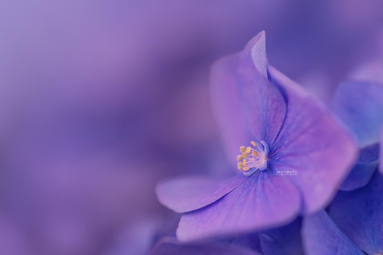 Purple Hydrangea _213 N 07 26 2017.jpg