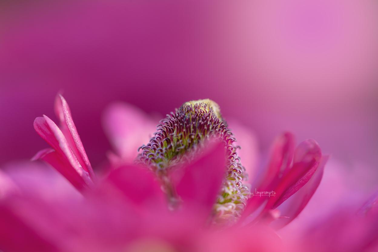 Ranunculus pink _169   07 09 2017.jpg
