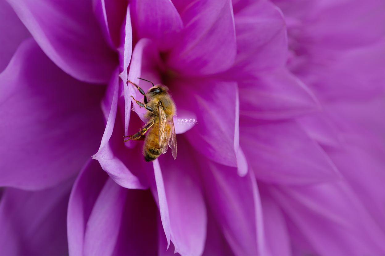 _322 Purple Dahlia Bee 10 12 2017 .jpg