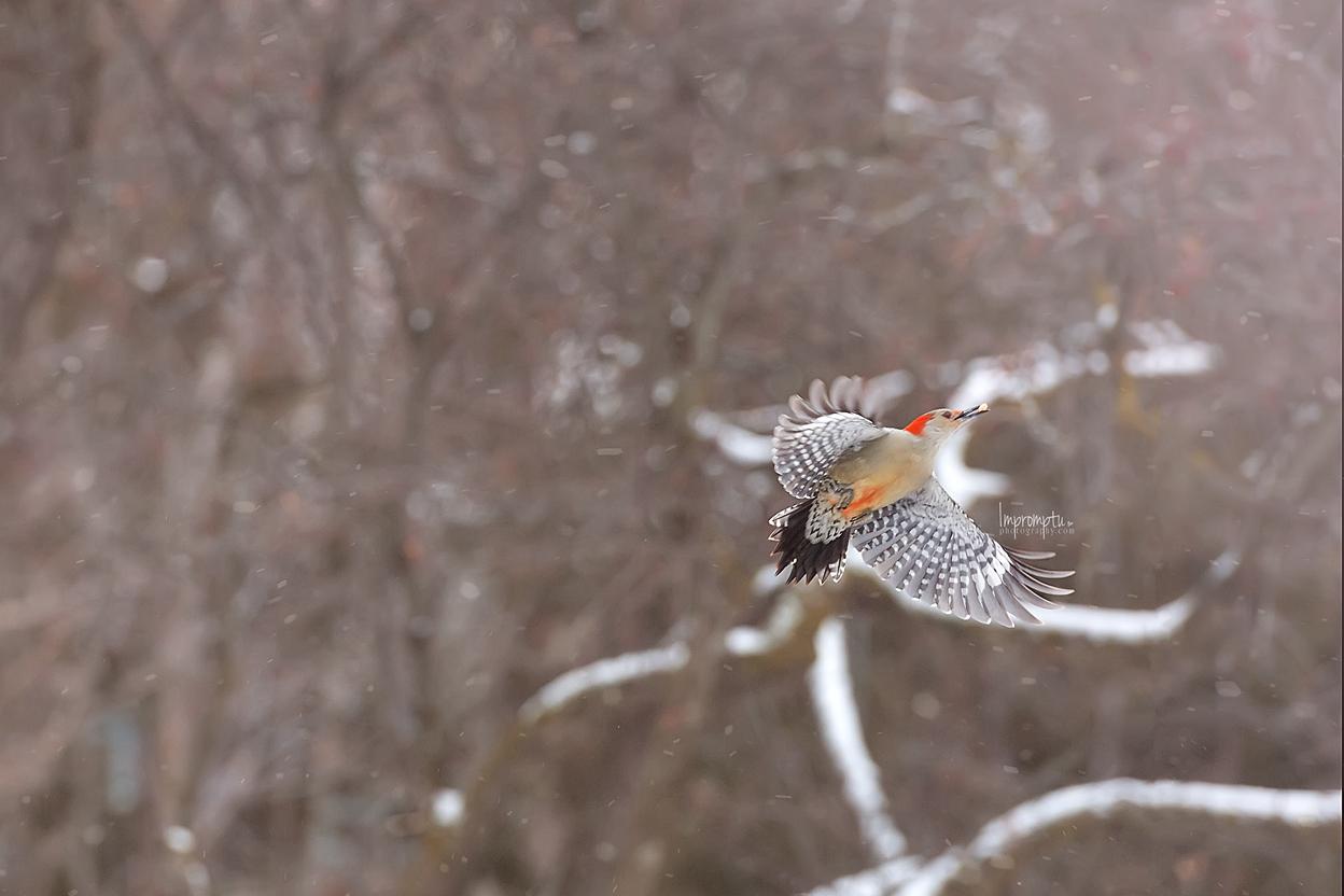 _69. 2 12x8 WoodPecker in flight in the winter snow  12 10 2017.jpg