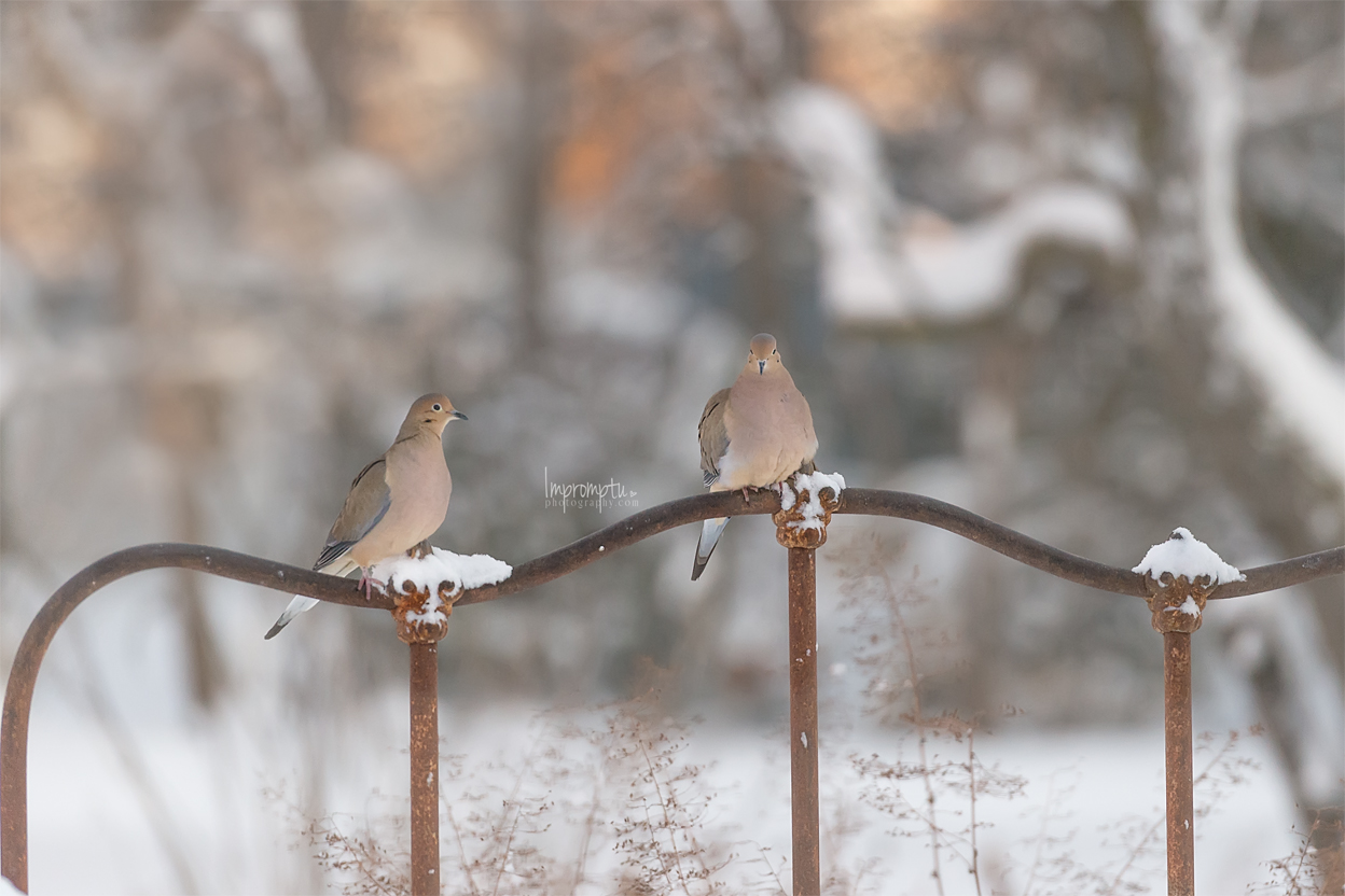 _38 12x8 Just us two Mourning Doves conversing in the morning snow.jpg