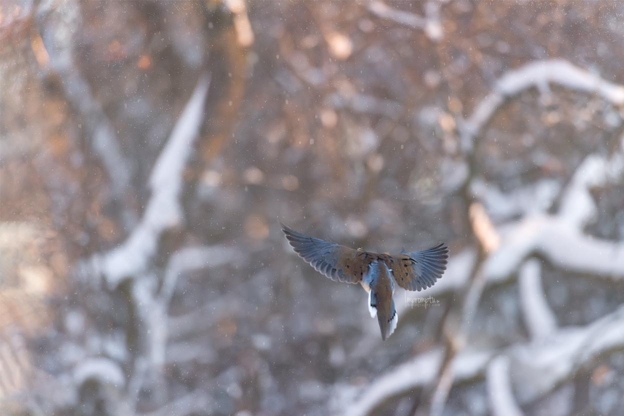 _44 2 12x8 Mourning Dove in flight in the morning light Winter.jpg