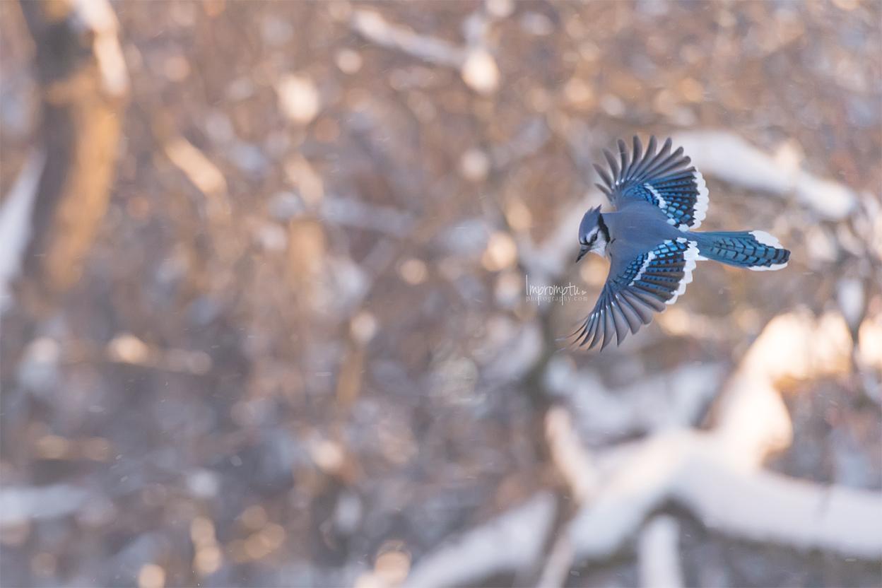 _124 12x8 In flight Blue Jay in the morning snow.jpg