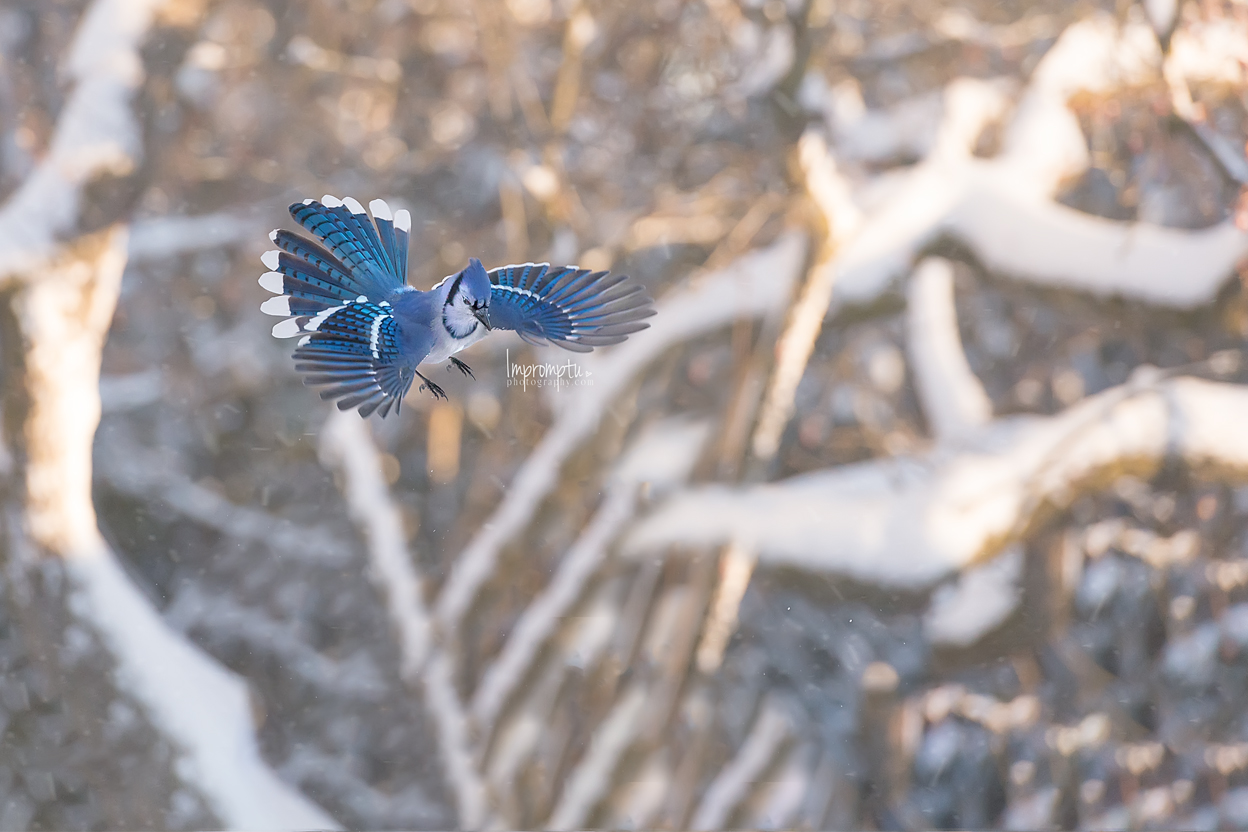 _280 12x8  In coming Blue Jay in the morning snow.jpg