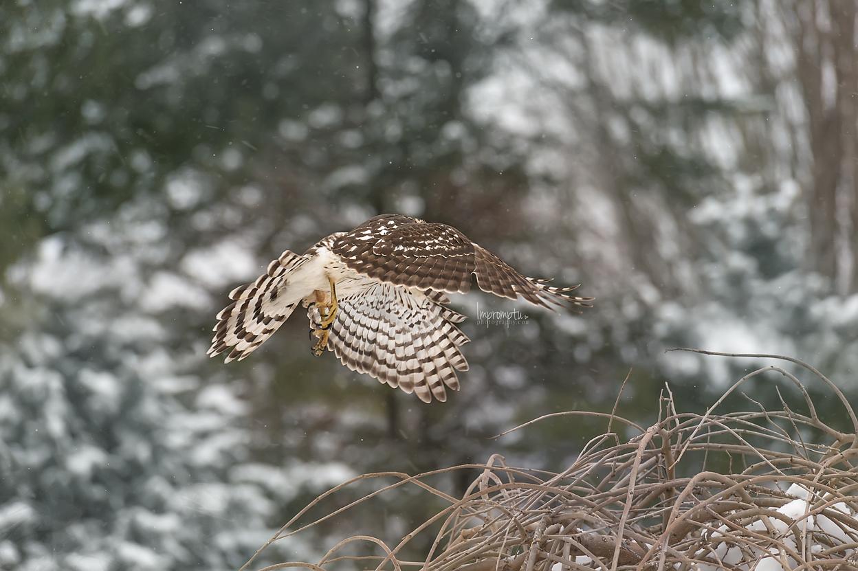 _312 Coopers Hawk in flight in the winter.jpg